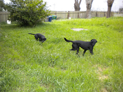 Two back labs in knee high grass