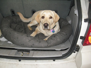 Poppy in her bed in the car looking directly into the camera
