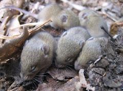 Llista actualitzada dels mamífers de la Conca de la Tordera