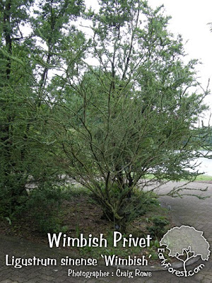 Wimbish Privet