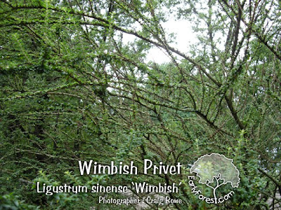 Wimbish Privet Branching