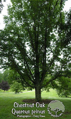 Chestnut Oak Tree