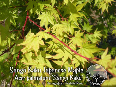 Sango Kaku Japanese Maple Leaves
