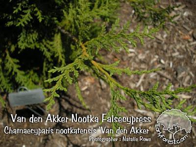 Van den Akker Nootka Falsecypress Foliage