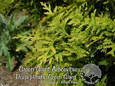 Green Giant Arborvitae Foliage