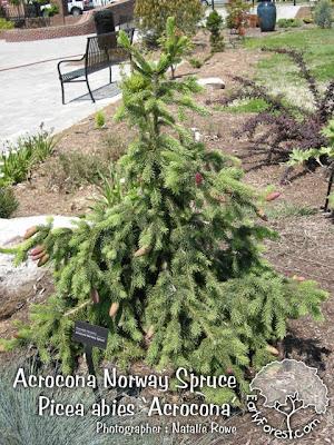 Acrocona Norway Spruce