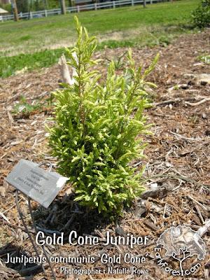 Gold Cone Juniper