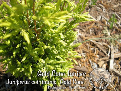 Gold Cone Juniper Foliage