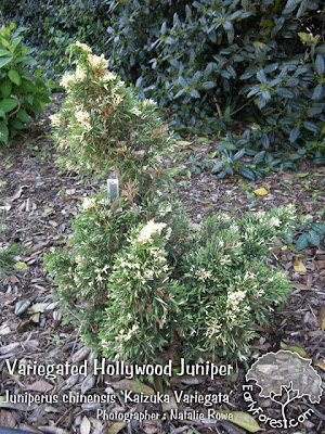 Variegated Hollywood Juniper