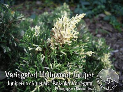 Variegated Hollywood Juniper Foliage