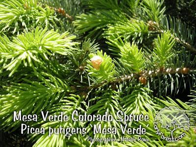 Mesa Verde Colorado Spruce Foliage