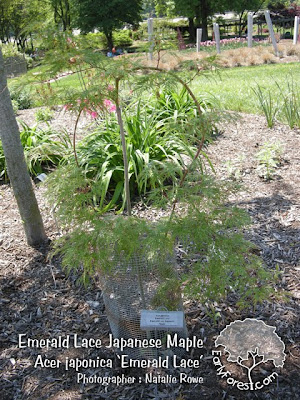 Emerald Lace Japanese Maple