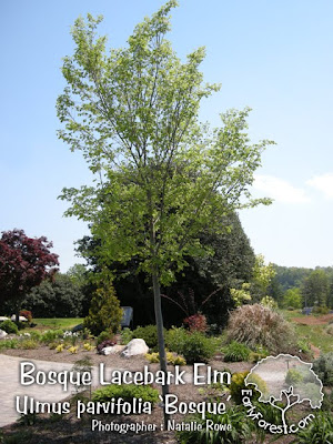 lacebark elm tree pictures. Bosque Elm Tree