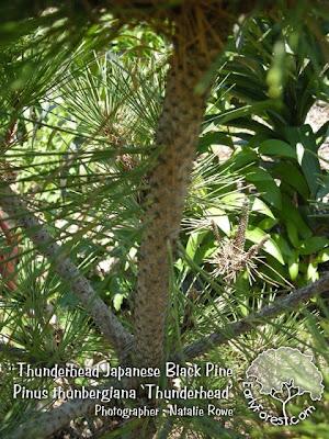 Thunderhead Japanese Black Pine Bark