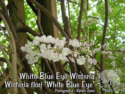 White Blue Eye Wisteria Flowers