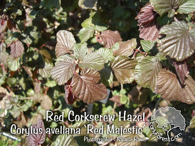 Red Corkscrew Hazel Leaves