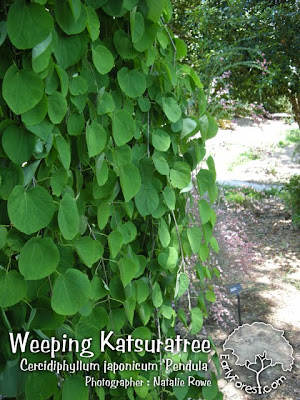 Weeping Katsuratree Leaves