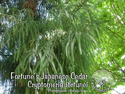 Fortune's Japanese Cedar Foliage