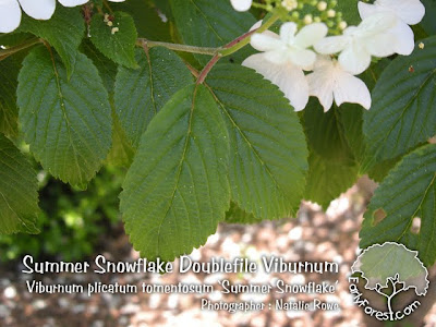 Summer Snowflake Doublefile Viburnum Leaves