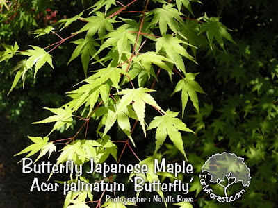 Butterfly Japanese Maple Leaves