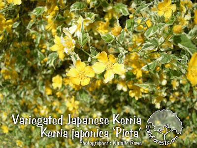 Variegated Japanese Kerria Flowers