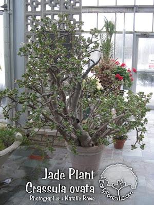 Jade Tree