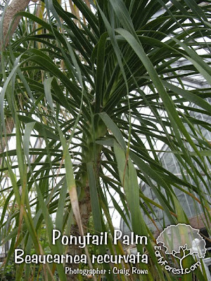 Ponytail Palm Leaves