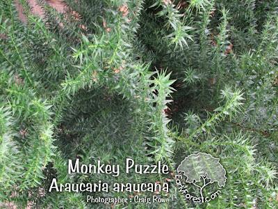 Monkey Puzzle Foliage