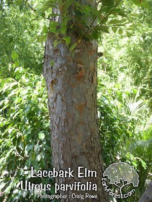Lacebark Elm Bark