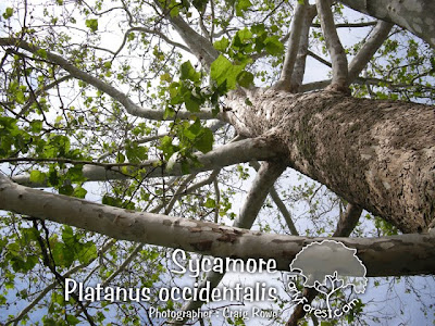 Sycamore Branching