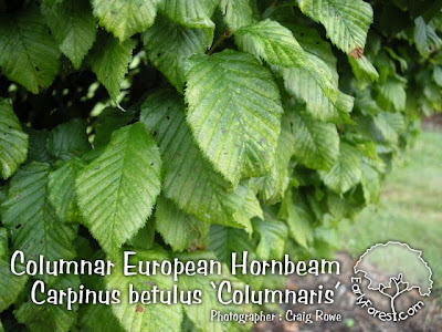 Columnar European Hornbeam Leaves