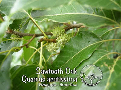 Sawtooth Oak Acorn Buds