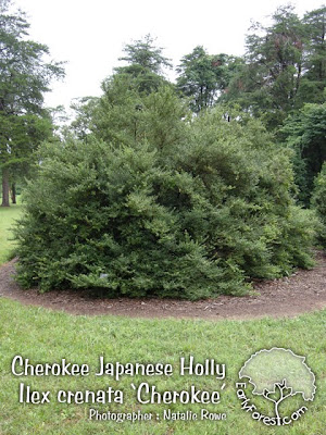 Cherokee Japanese Holly