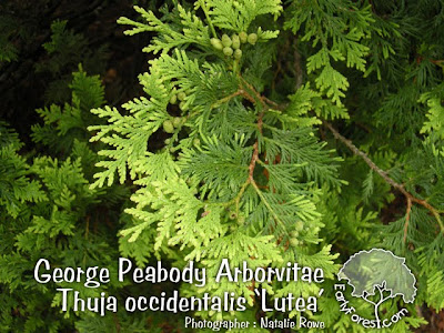 George Peabody Arborvitae Leaves