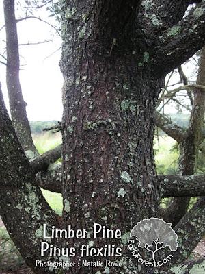 Limber Pine Bark