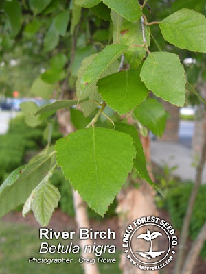 River Birch Leaves