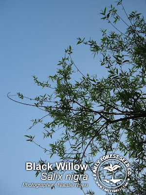 Black Willow Leaves