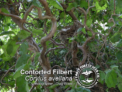 Contorted Filbert Branching