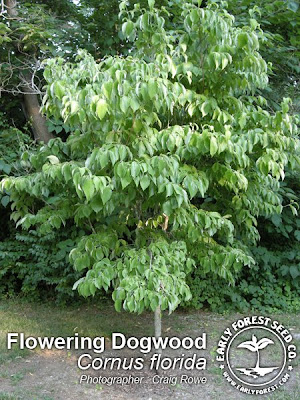 Picture Dogwood Flower on The Dwarf Dogwood Is Related To The Flowering Dogwood Trees  These Low