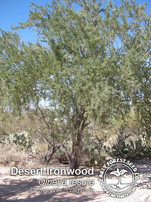 washington hawthorn tree facts. Desert Ironwood Tree