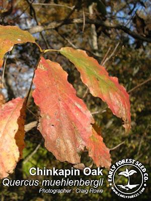 Chinkapin Oak Leaves in Fall