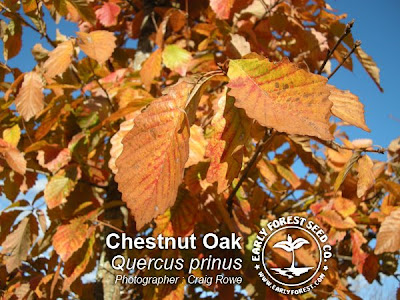 Chestnut Oak Leaves in Fall