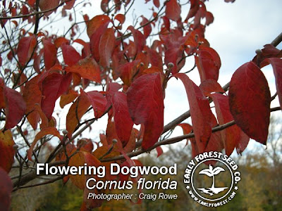 Flowering Dogwood Leaves in Fall