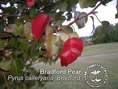 Fall Bradford Pear Leaves