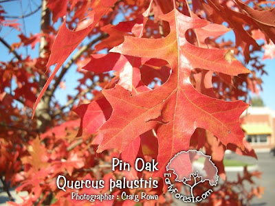 Pin Oak Fall Leaf Color