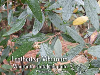 Leatherleaf Viburnum Leaves