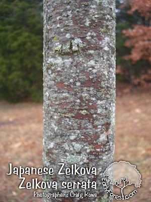 Japanese Zelkova Bark