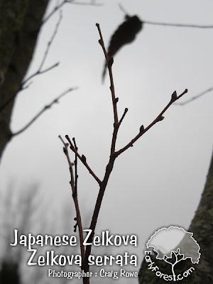 Japanese Zelkova Leaf Buds