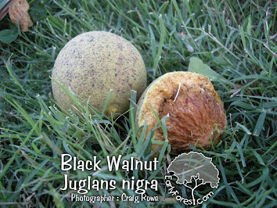 Black Walnut Nut