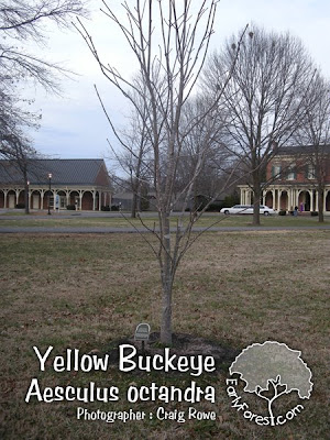 Yellow Buckeye Tree